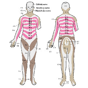 Dermatomes - The Patches of Skin Affected by Certain Nerve Roots